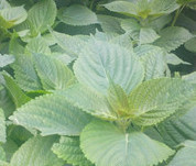 Perilla frutescens seeds (green at both sides)
