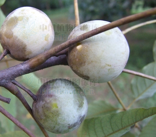 Choerospondias axillaris seeds