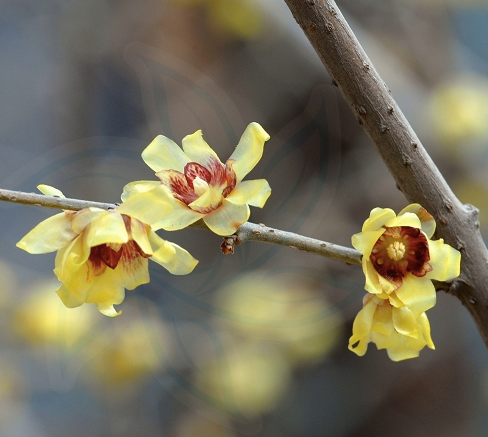 Chimonanthus praecox seeds