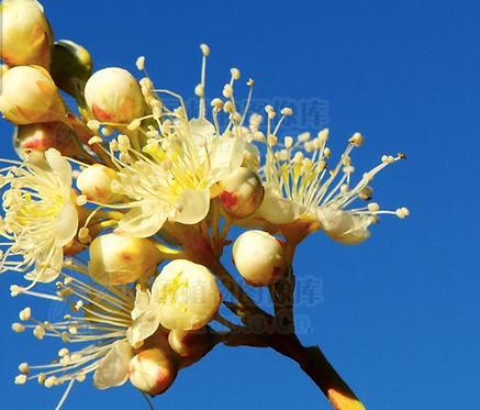 Sorbaria sorbifolia seeds