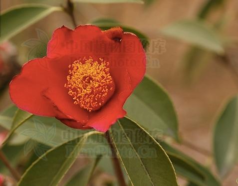 Camellia chekiangoleosa seeds