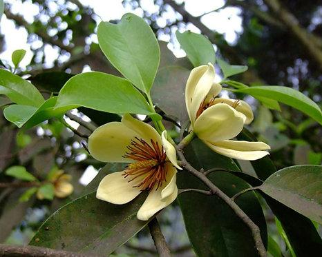 Michelia chapensis seeds