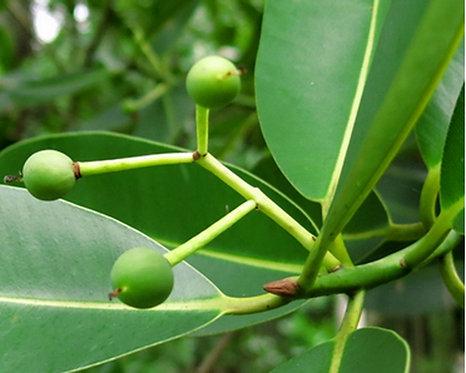 Calophyllum inophyllum seeds