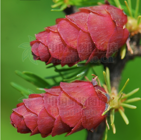 Larix olgensis seeds