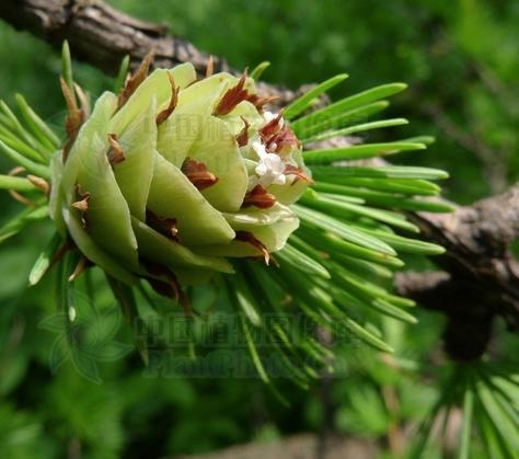 Larix gmelinii seeds