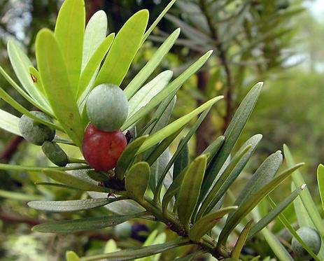 Podocarpus macrophyllus seeds