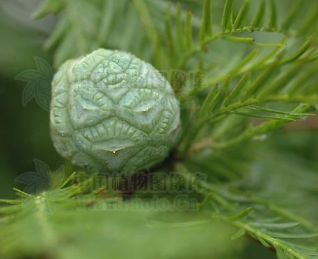 Taxodium distichum seeds
