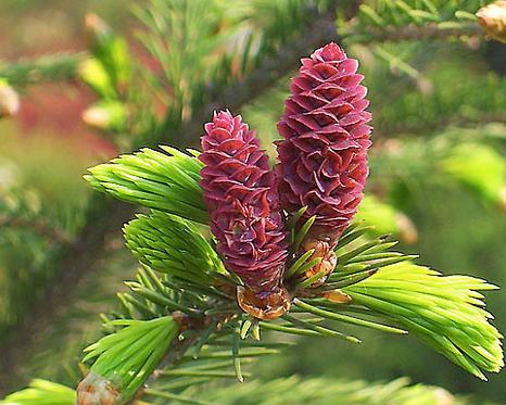 Picea asperata seeds