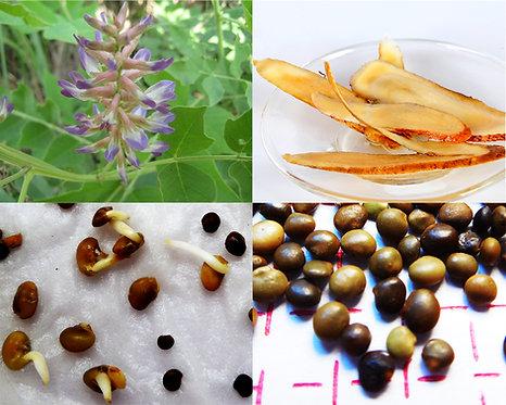 Glycyrrhiza uralensis seeds