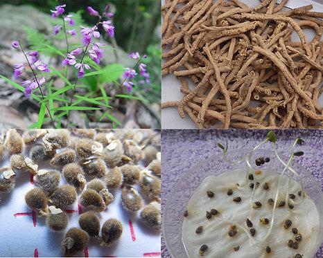 Polygala tenuifolia seeds