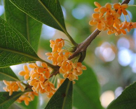 Osmanthus fragrans cv. aurantiacus seeds