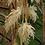 Thumbnail: Washingtonia filifera seeds
