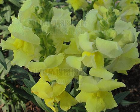snapdragon - yellow