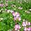 Thumbnail: Astragalus sinicus seeds
