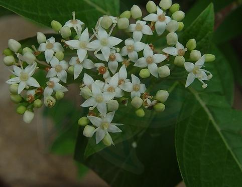 Swida alba seeds