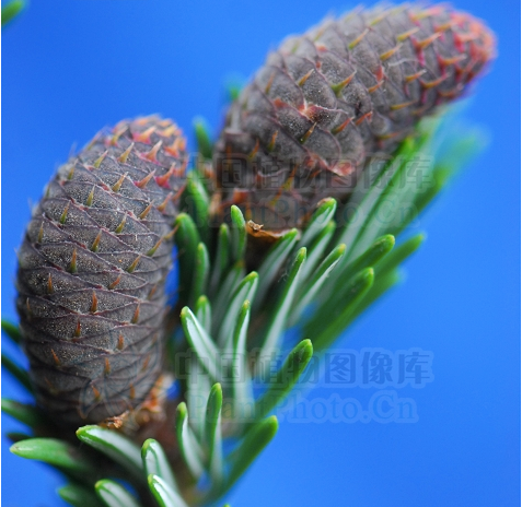 Abies nephrolepis seeds
