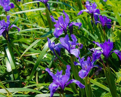 Iris tectorum seeds