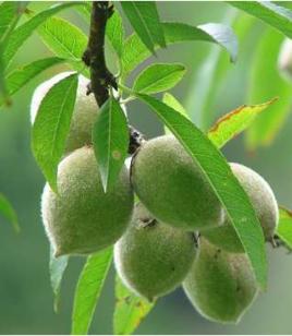 wild peach seeds (Amygdalus persica)
