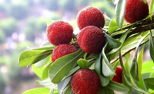Chinese bayberry seeds (Myrica rubra)
