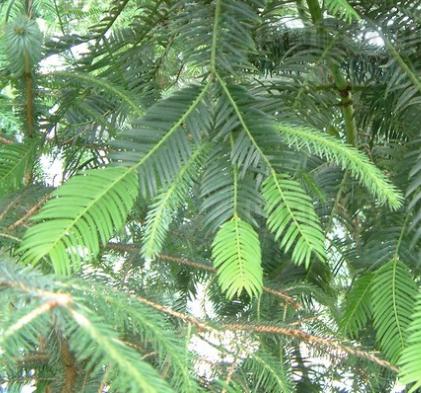 Torreya yunnanensis seeds