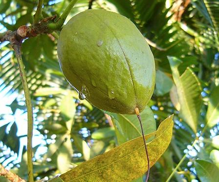 Pachira macrocarpa seeds