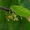 Thumbnail: cocoa seeds-Theobroma cacao