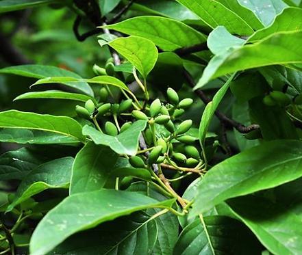 Nyssa sinensis seeds