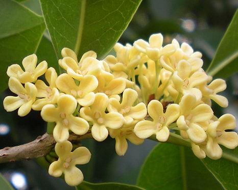 Osmanthus fragrans cv. latifolius seeds