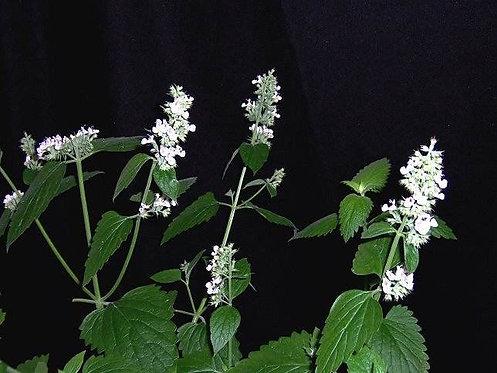 Nepeta tenuiflora seeds