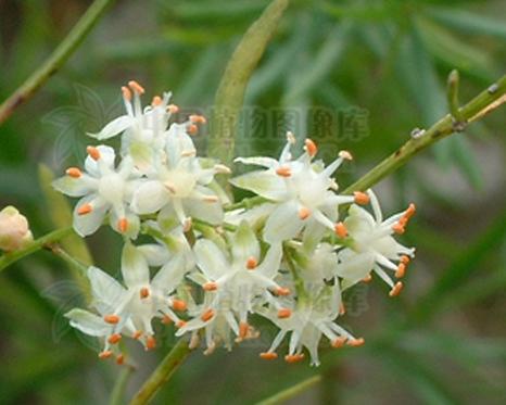 Asparagus cochinchinensis seeds
