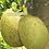 Thumbnail: Jack fruit seeds (Artocarpus heterophyllus)