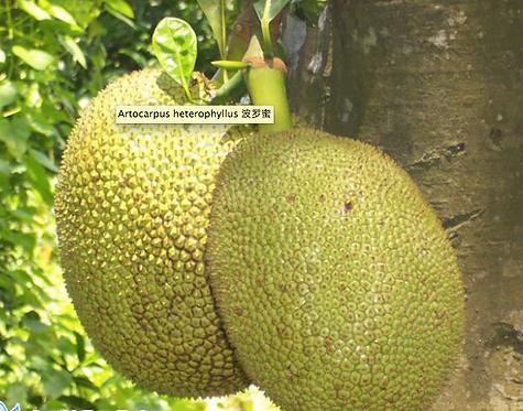 Jack fruit seeds (Artocarpus heterophyllus)