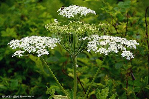 Heracleum hemsleyanum