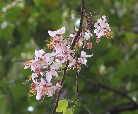 Cassia bakeriana seeds