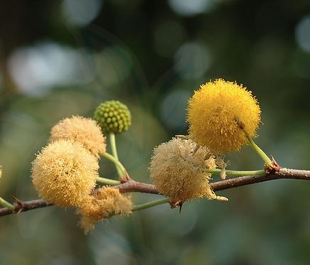 Acacia farnesiana seeds