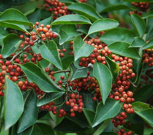 Ilex rotunda seeds