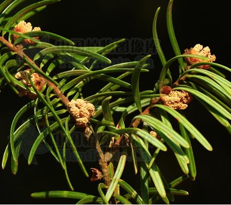 Keteleeria evelyniana seeds