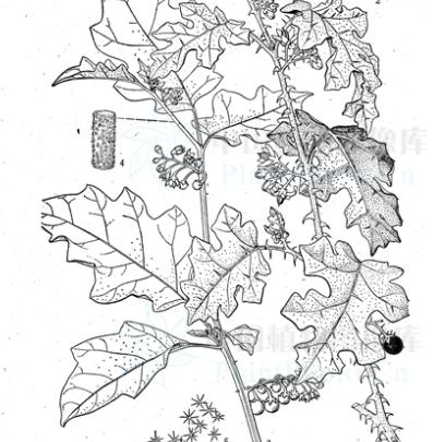 Solanum deflexicarpum seeds