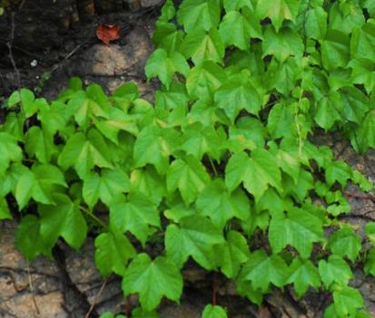 Parthenocissus tricuspidata seeds