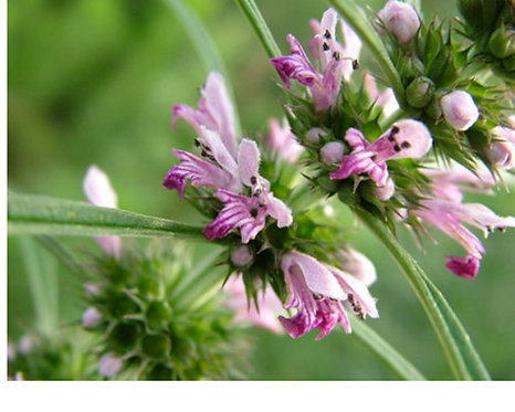 Leonurus artemisia seeds