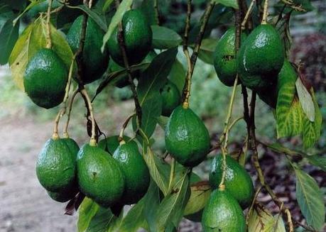 Butyrospermum parkii