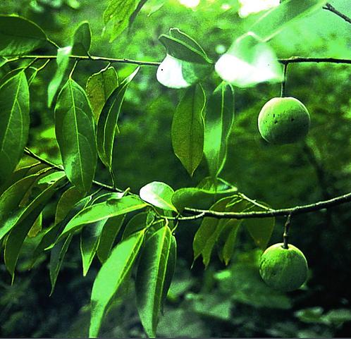 Malania oleifera seeds