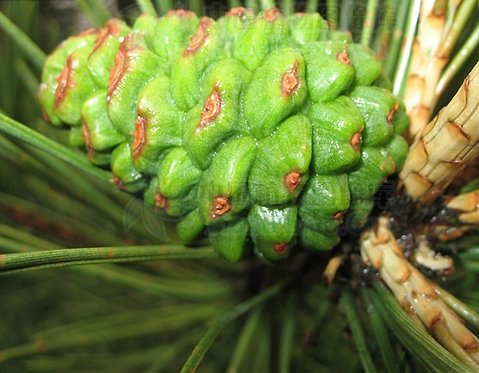 Pinus thunbergii seeds