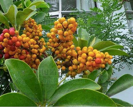 Schefflera octophylla seeds