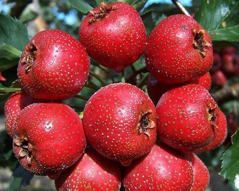 Crataegus pinnatifida seeds