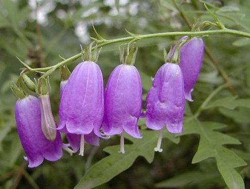 Adenophora triphylla