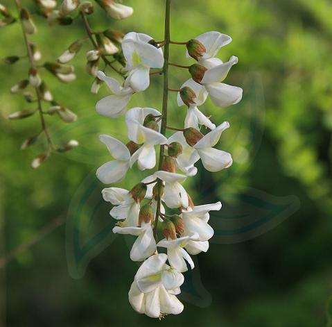 Robinia pseudoacacia seeds