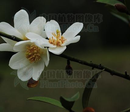 Michelia yunnanensis seeds