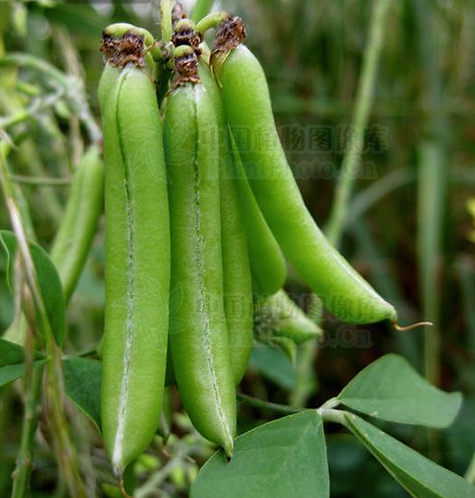 Crotalaria pallida seeds