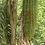 Thumbnail: Caryota ochlandra seeds